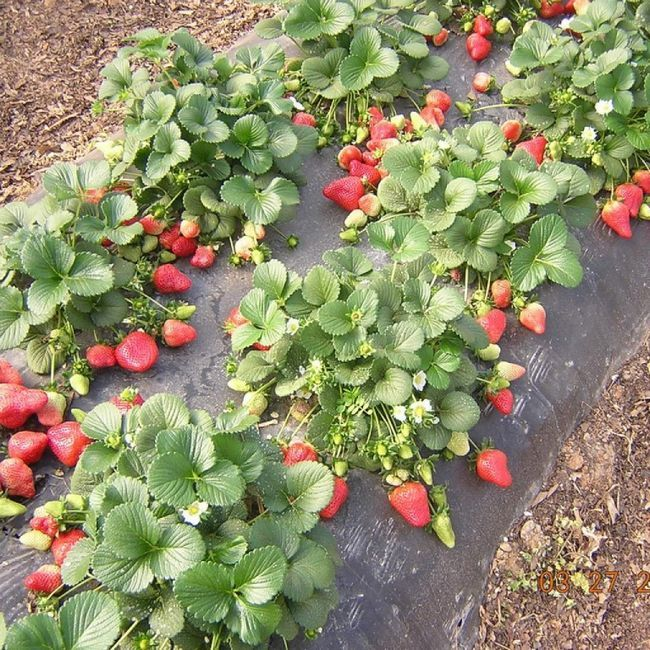 Широко використовується плівковий метод посадки полуниці