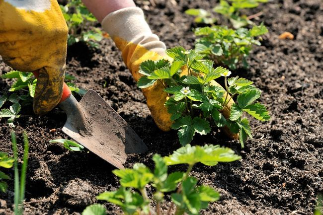 Під час висадки рослин необхідно зробити лунки, в які будуть поміщені рослини разом з грудкою землі