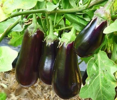 Як вирощувати баклажани в умовах відкритого грунту