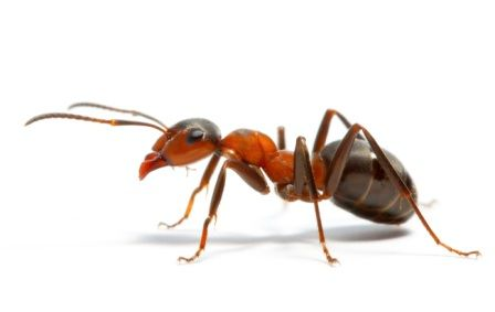 Проблеми садової ділянки: як вивести мурах