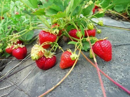 Розмноження в саду полуниці: основні способи і нюанси