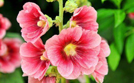 Садова мальва: вирощування з насіння в теплицях